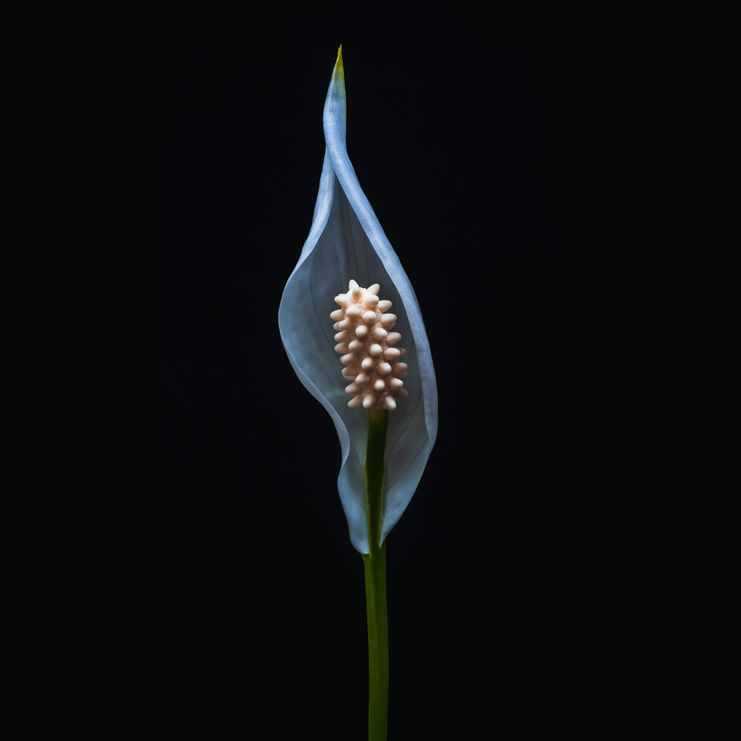 Peace lily flower on black