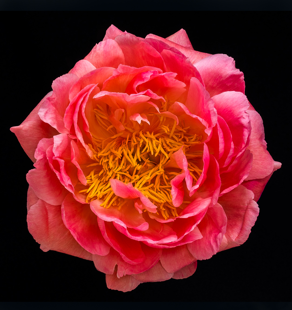 Coral peony in bloom