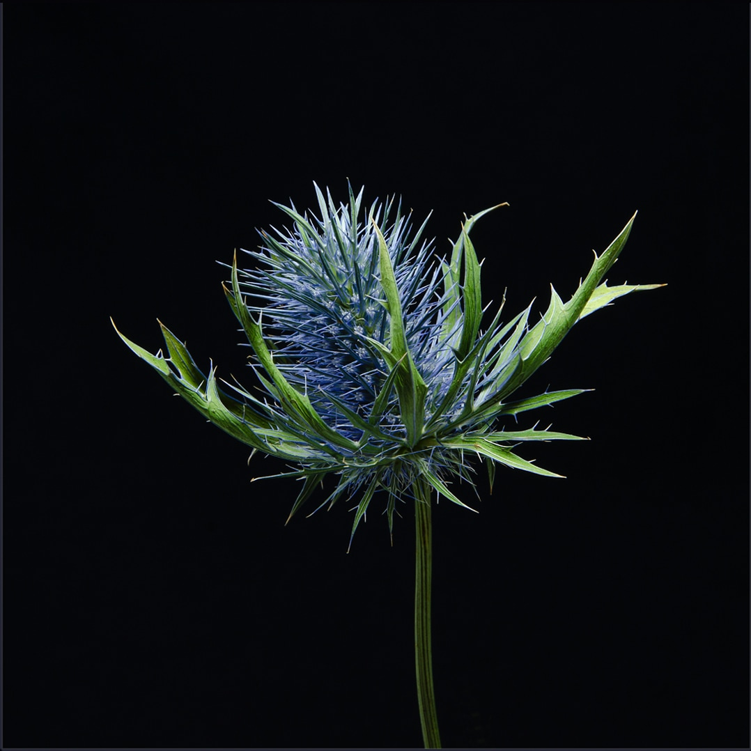Sea Holly detail